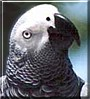 Bobby the Congo African Grey Parrot