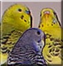 Dostoy, Sparkles, and Crystal the Parakeets