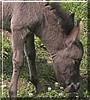 Miss Sally the Miniature Mule
