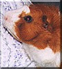 Patch the Guinea Pig