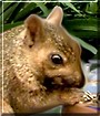 Tokusho the Gray Squirrel