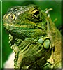 Tootsie the Giant Green Iguana