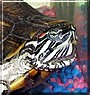Tony the Red Eared Turtle
