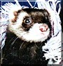 Bear the Sable Ferret