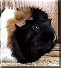 Max the American Guinea Pig