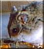 Jeannie the Dwarf Hamster
