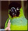 Ripken the Nanday Conure