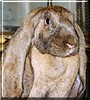 Bill the English Lop Rabbit