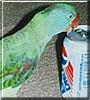 Rascal the Alexandrine Parakeet