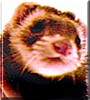 Harmony the Sable Coated Ferret