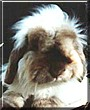 Goldberg the Angora Rabbit