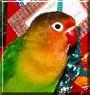 Niles the Fischer's Lovebird