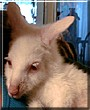 Snoball the Albino Bennett Wallaby