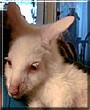 Snoball the Albino Bennett Wallaby