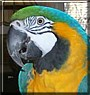 Sydney the Blue and Gold Macaw