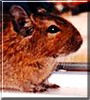 Dude the Degu