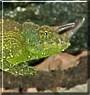 Cooper the Jackson Chameleon
