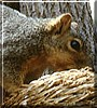 Rocky the Gray Squirrel