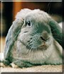 Roger the Mini French Lop