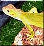 Drain the Green Iguana