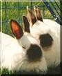 Sadie, Fidget the Himalayan Rabbits
