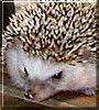 Chucky the African Pygmy Hedgehog