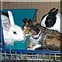 Hailey, Kalista, Jasper the Dutch Rabbits, Calico