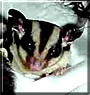 Annick the Sugar Glider