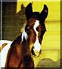 Whisper the Tobiano Paint Filly
