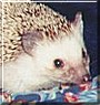 Sarah the African Pygmy Hedgehog