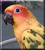 Pepper the Sun Conure Parrot