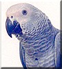 Jello the Congo African Grey Parrot