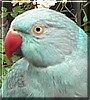 Claudia the Indian Ringneck Parrot