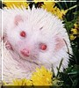 Krystl the Albino Hedgehog