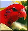 Chandra the Red Lorikeet