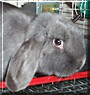 Tulip the Holland Lop