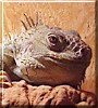 Conan the Green Iguana