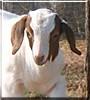Jasper the Boer Goat