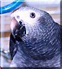 Gemini the Timneh African Grey Parrot