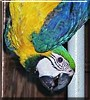 Tahiti the Blue & Gold Macaw