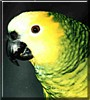 Heidi the Blue Front Amazon Parrot