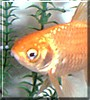 Alfred the Goldfish