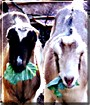 Bucky, Patches the LaMancha Goats