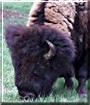 Cody the American Bison