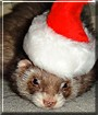 Leia the Sable Ferret