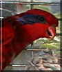 Sparky the Blue Streaked Lory