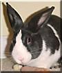Bun Bun the Dutch Rabbit