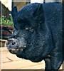 Floyd the Vietnamese Potbellied Pig