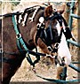 Chester the Shetland Pony