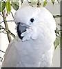 Kona the Umbrella Cockatoo